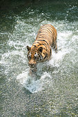 Siberian tiger running in the water. Tiger with splash of water.