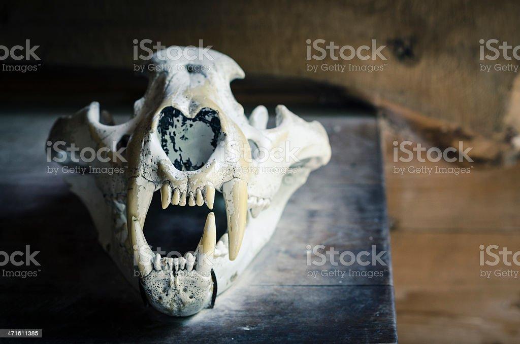 Siberian tiger skull stock photo