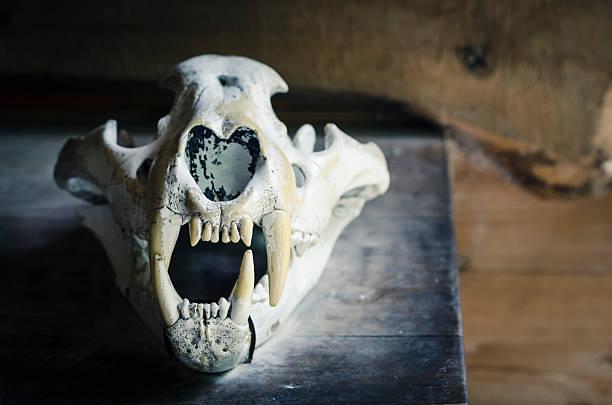 Siberian tiger skull foto
