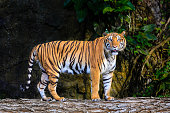 Siberian tiger standing on wood logs