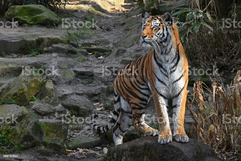 Siberian tiger stands alerted on the stone rock stock photo