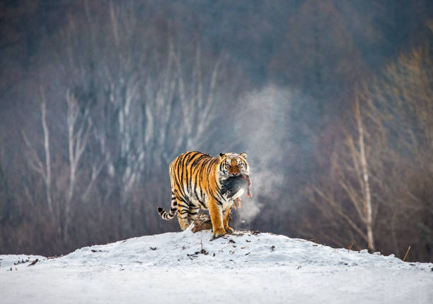 Siberian (Amur) tiger stands in a snowy glade with prey. China. Harbin. Mudanjiang province. Hengdaohezi park. Siberian Tiger Park. stock photo