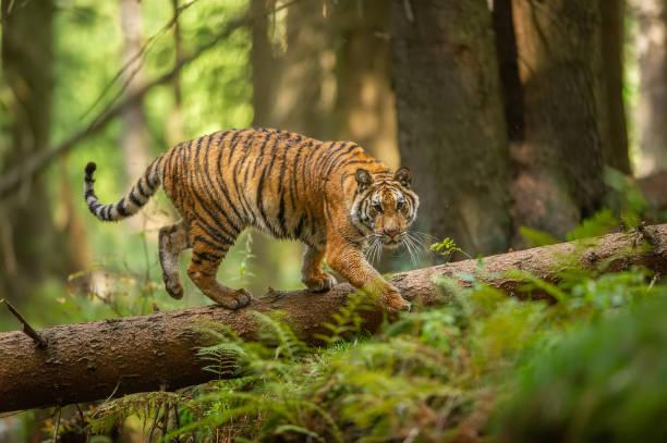 Sibirische Tiger, die auf einem gefallenen Baum in Taiga zu Fuß. Dschungelwald mit gefährlichem Tier. Panthera tigris altaica – Foto