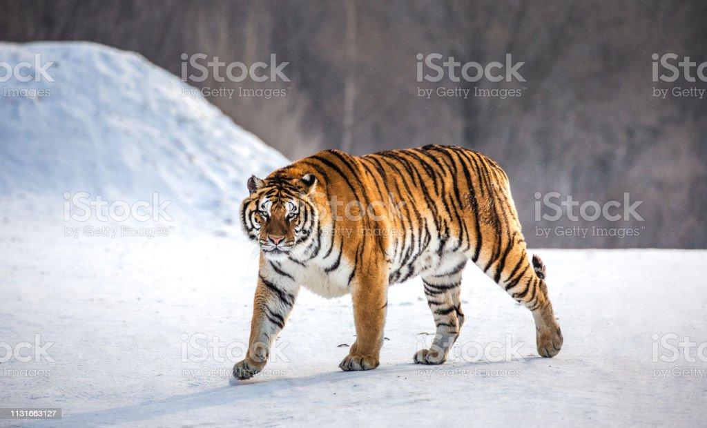Siberian (Amur) tiger walks in a snowy glade in a hard frost. Very unusual image. China. Harbin. Mudanjiang province. Hengdaohezi park. Siberian Tiger Park. Winter. stock photo
