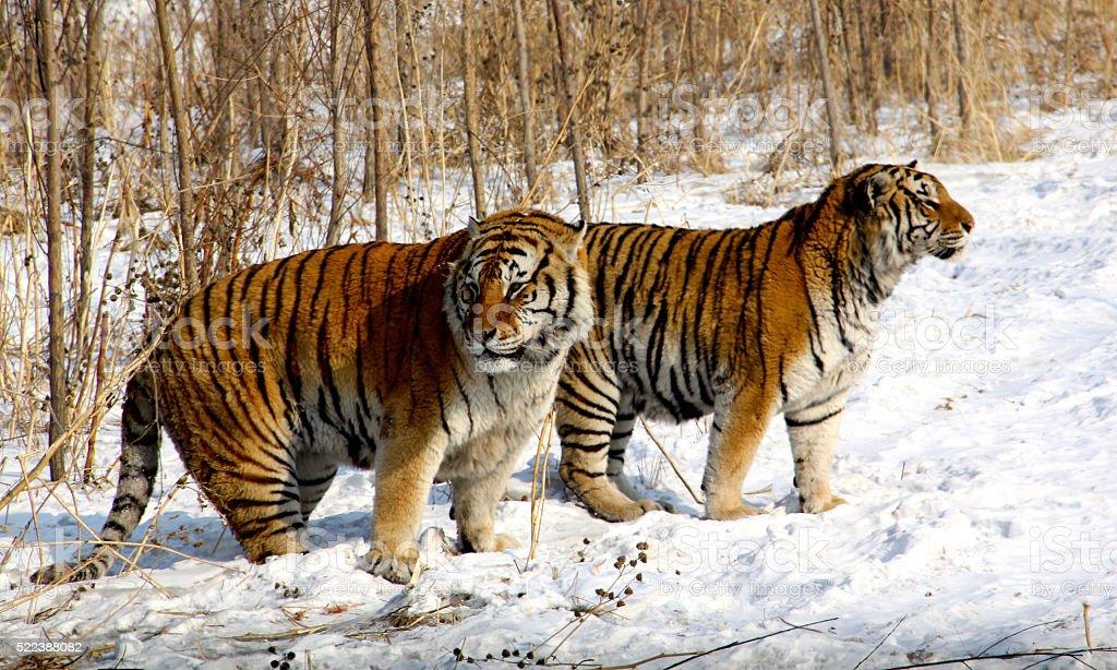 Siberian Tigers in Northern China stock photo