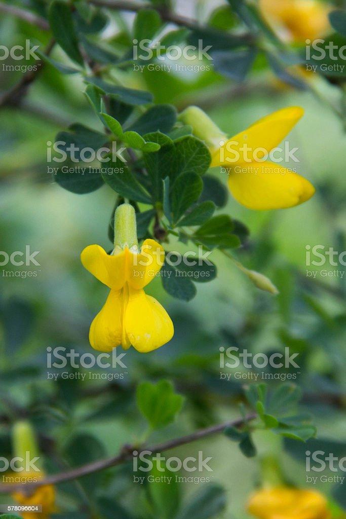 Siberian yellow acacia Caragana treelike stock photo