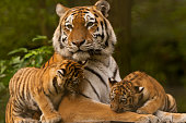 Siberian/Amur Tiger Cubs With Adult