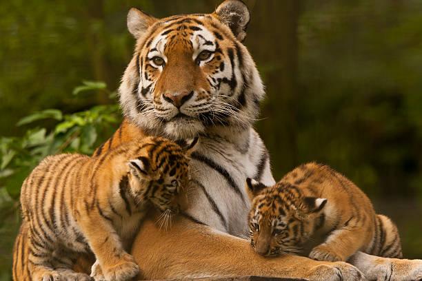 Siberian/Amur Tigers (Panthera Tigris Altaica) Siberian/Amur Tiger Cubs With Adult animal family stock pictures, royalty-free photos & images