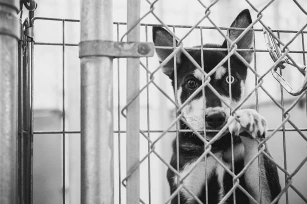 siberien husky welpen hund pfund out zwingers betrachten - hunde aus dem tierheim stock-fotos und bilder