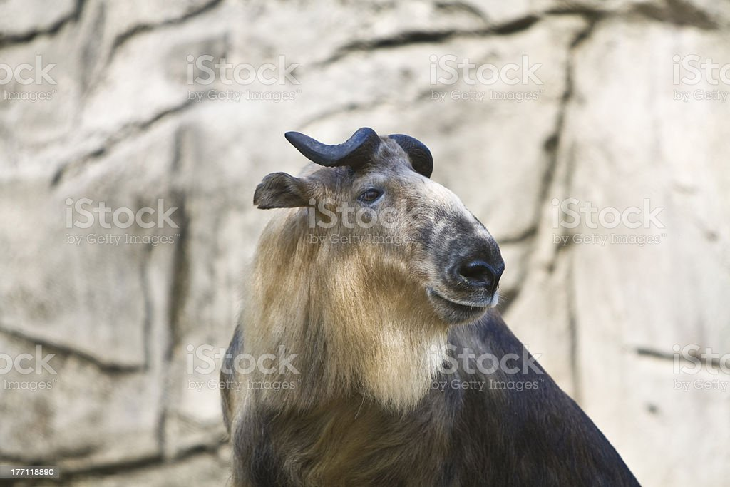 Sichuan Takin stock photo