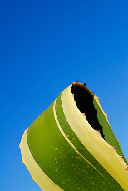 sicilian cactus against vibrant blue sky stock photo