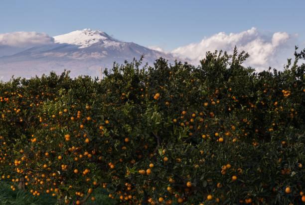 sizilianische orangen im hain mit ätna im hintergrund - wäldchen stock-fotos und bilder