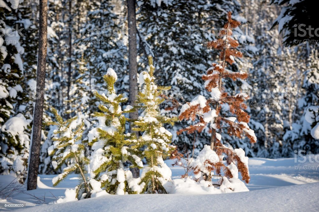 Sick and dying small pine tree in winter stock photo