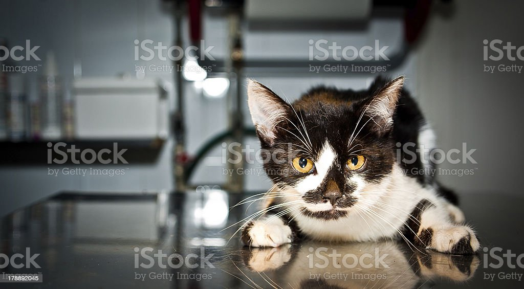 Sick cat at veterinarian royalty-free stock photo