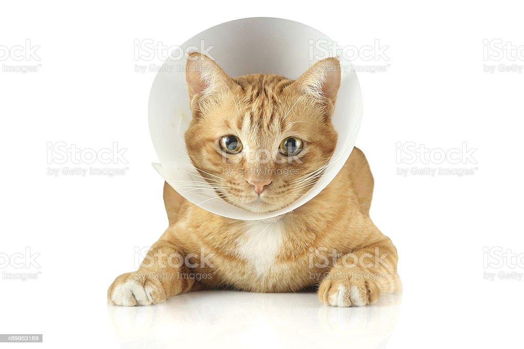 Trichterkragen cat – Foto