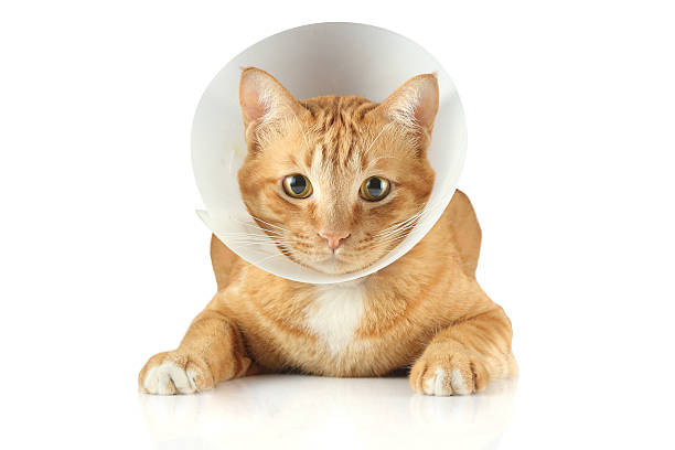 A sick cat wearing a funnel collar a funnel collar cat cone shape stock pictures, royalty-free photos & images