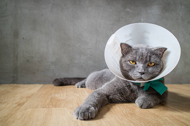 sick cat with funnel cone collar stock photo