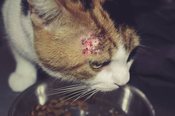sick cat with patches stock photo