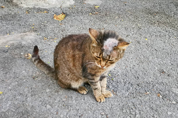 Sick cat with shingles on his bald head on the street.