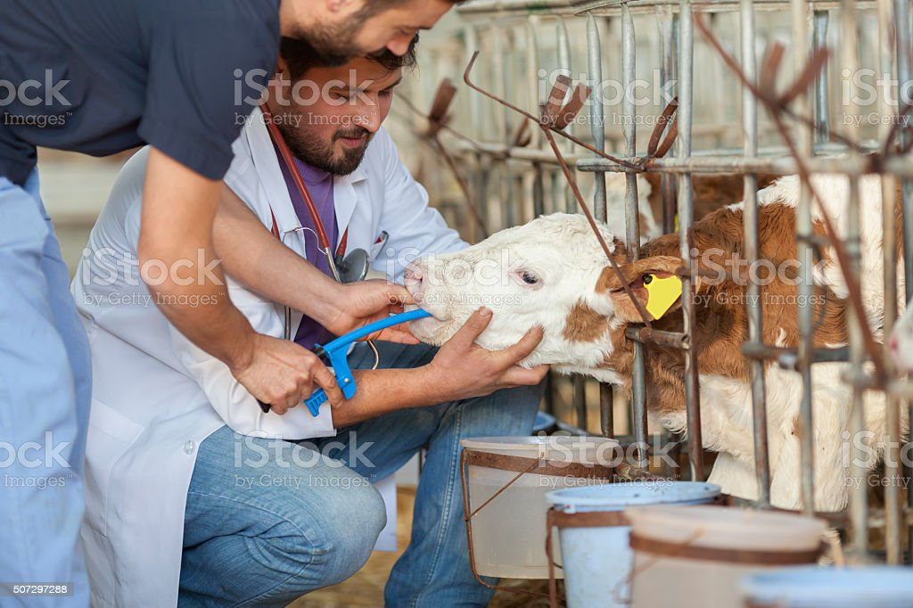 Sick Cattle stock photo