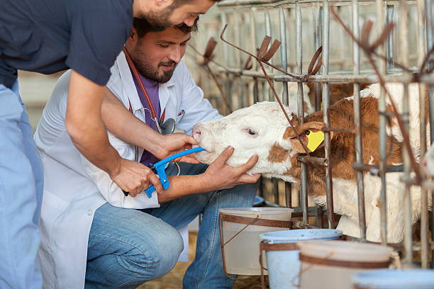 sick cattle - animal health stock photos and pictures