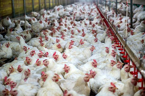 Malade de poulet ou du poulet élevé à la ferme, une épidémie, de la grippe des oiseaux. - Photo