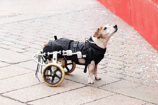 A sick dog in a wheelchair looks at the owner plaintively stock photo