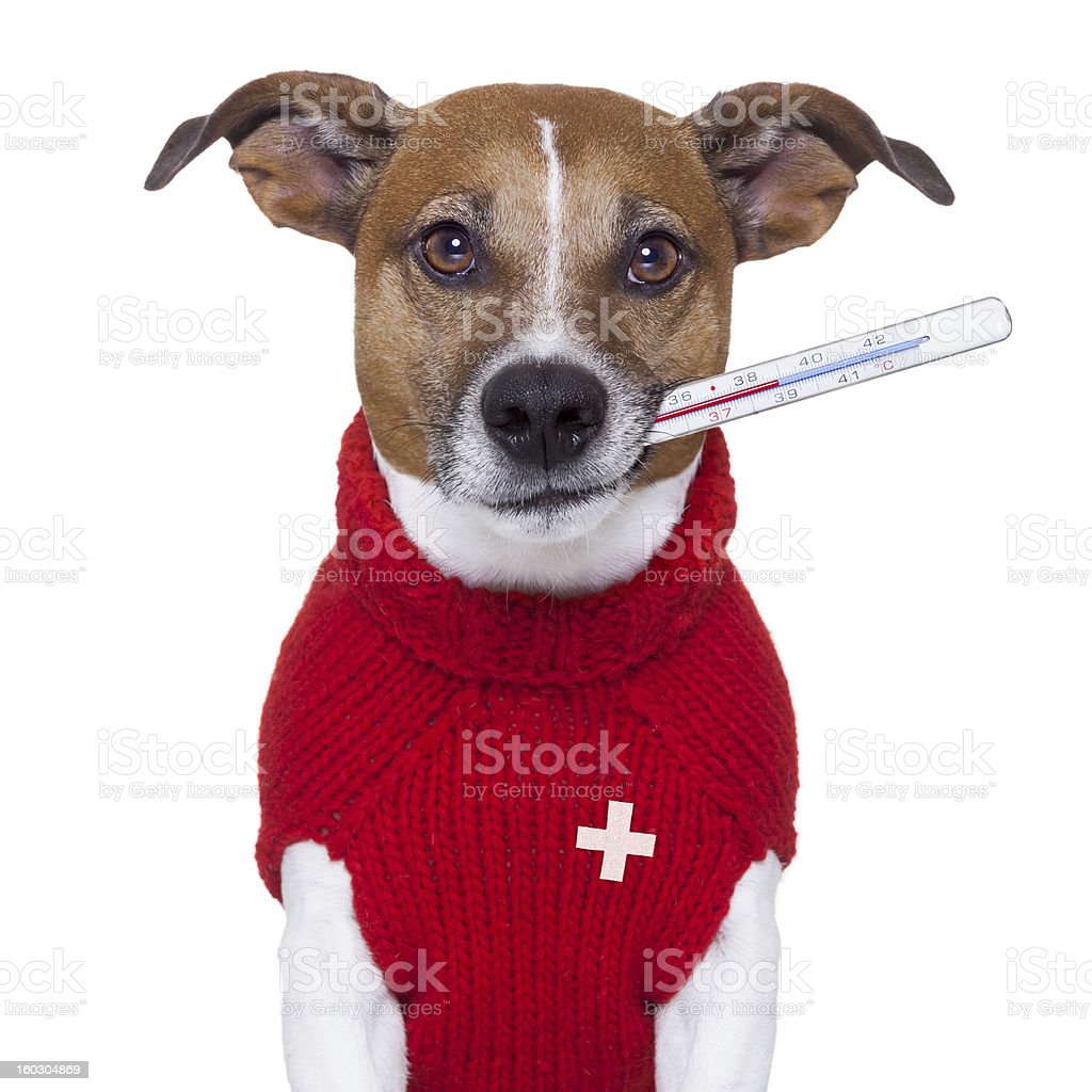 Sick dog in sweater with thermometer hanging from its mouth stock photo