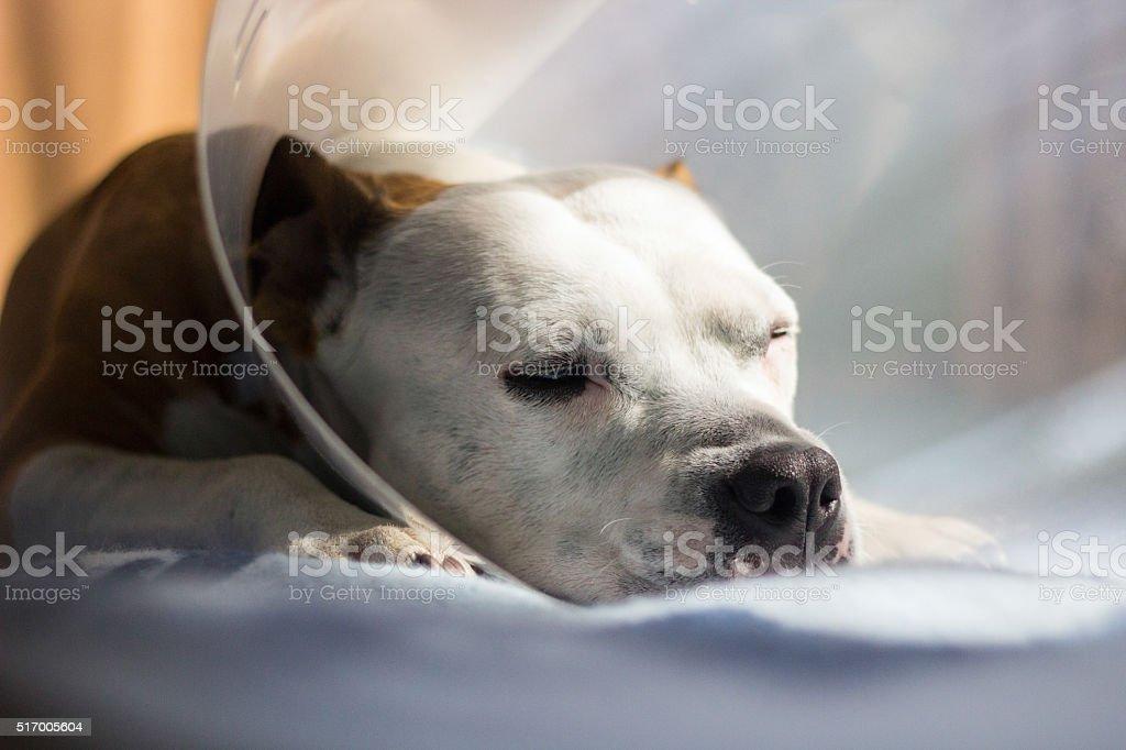 Sick dog napping stock photo