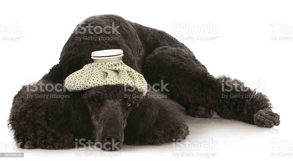 sick dog royalty-free stock photo