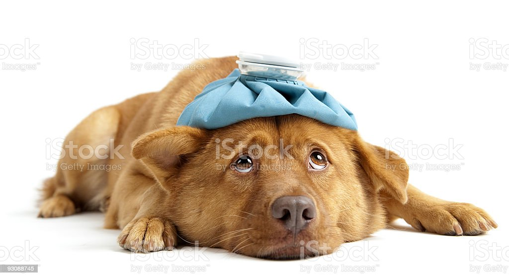 A sick dog with an ice pack covering its head stock photo