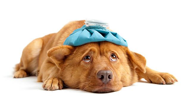 chien malade - canidés photos et images de collection