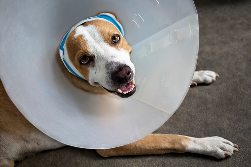 istock Sick dog with bandages lying and wearing a funnel collar. 803686582