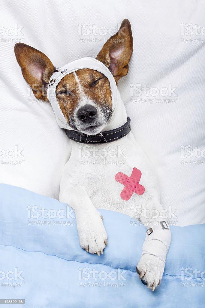 Sick dog with bandages royalty-free stock photo