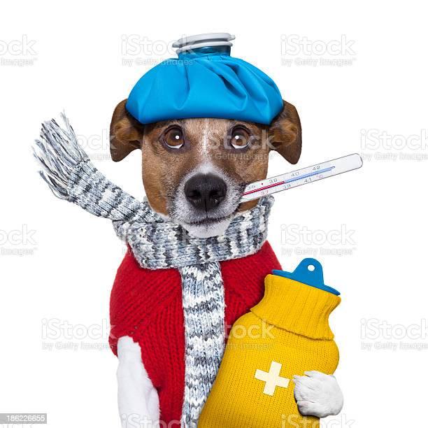 Sick dog with fever picture id186226655?b=1&k=6&m=186226655&s=612x612&h=iz1ysn5rurscwltkcx5o3fwhmyvg4nfvv1wmyomvikq=