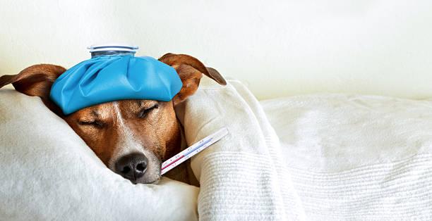 плохо ill собака - болезнь стоковые фото и изображения