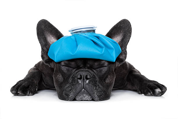 sick ill dog french bulldog dog very sick with ice pack or bag on head, eyes closed and suffering isolated on white background aftereffect stock pictures, royalty-free photos & images