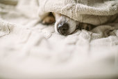 istock sick ill flu dog nose under the blanket. Cozy home recovering. Dog nose. Taking care of weak friend 1132974239