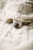 istock sick ill flu dog nose under the blanket. Cozy home recovering. Dog nose. Taking care 1132974883