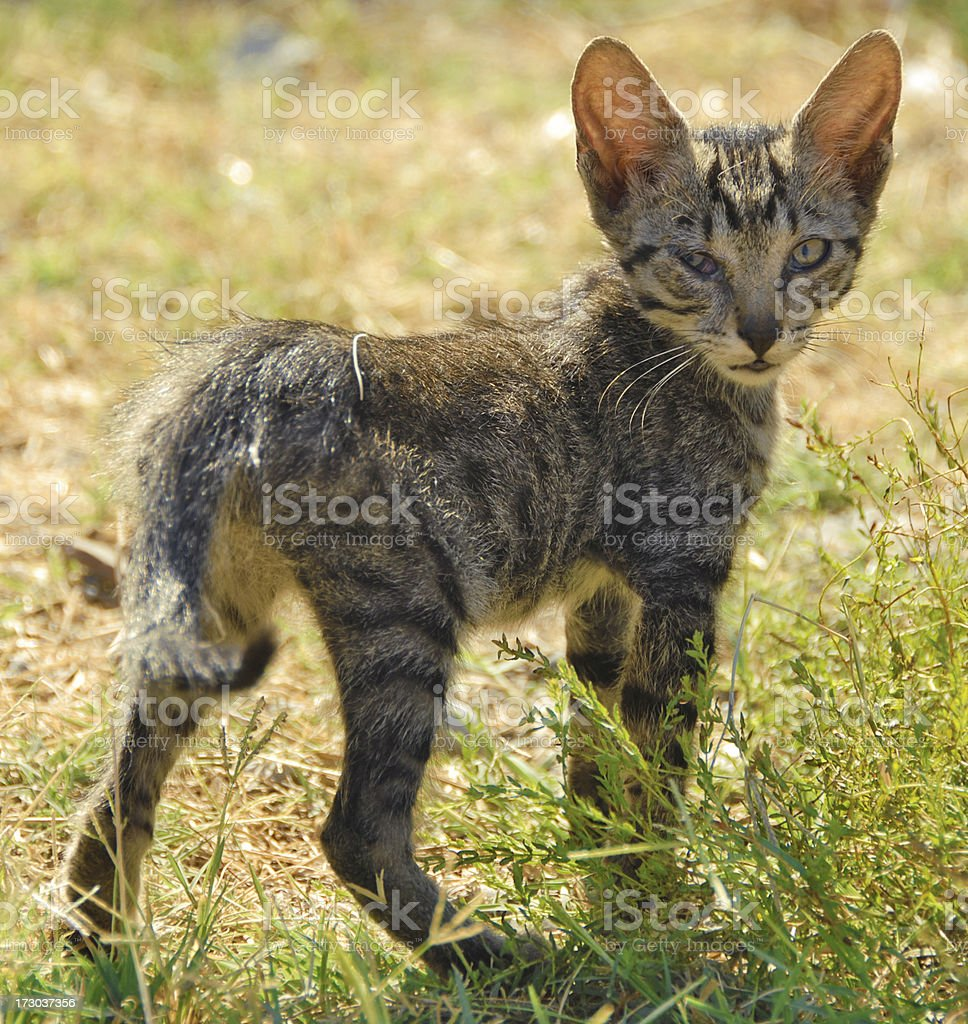 sick kitten royalty-free stock photo