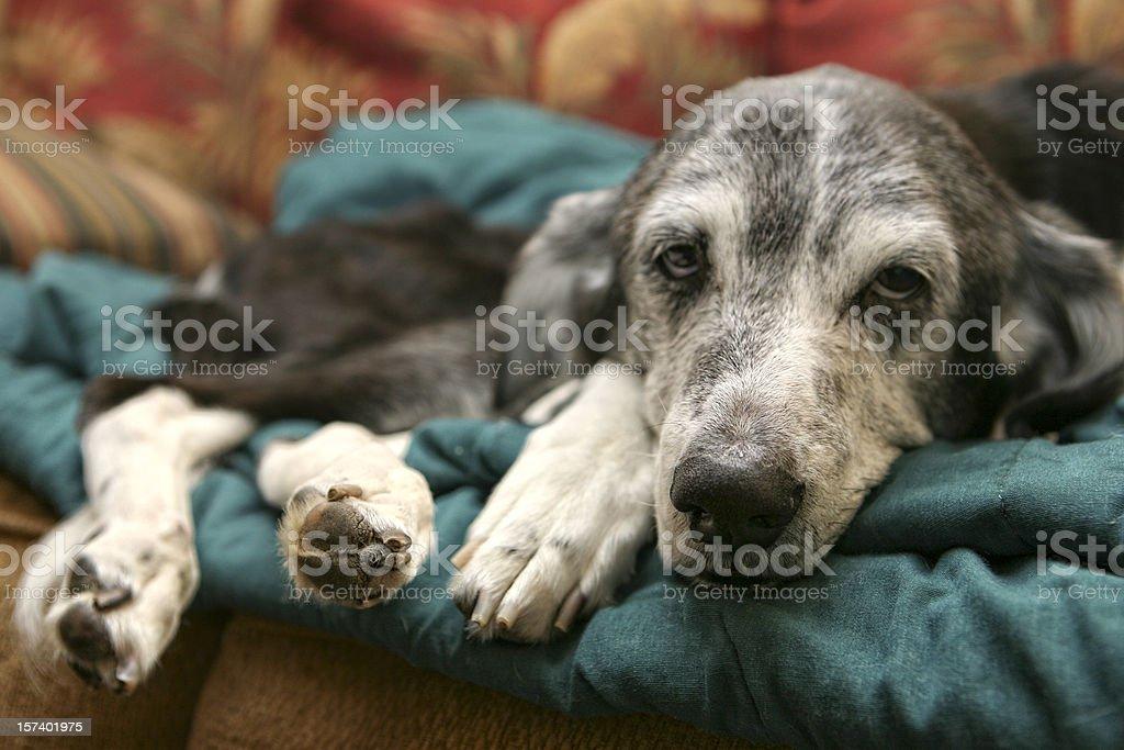 Kranke alten Hund – Foto