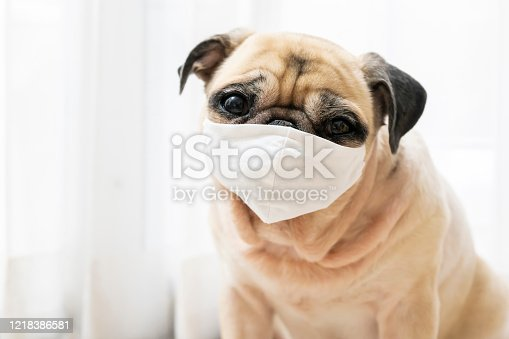 Sick or contagious cute pug dog wearing a medical mask. Protection concept of global pandemic coronavirus, COVID-19 or 2019-nCoV and dust anti pollution PM2.5 (Muslin cloth mask)