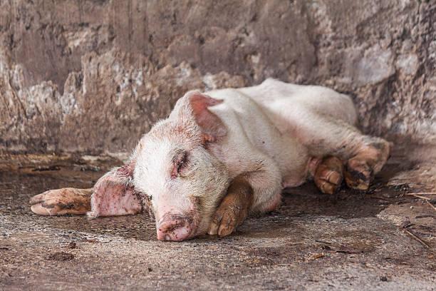 Krank Schwein in der farm – Foto