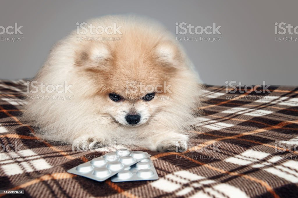 Sick Pomeranian puppy laying next to the tablets for the treatment...