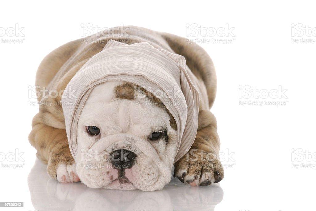 sick puppy royalty-free stock photo