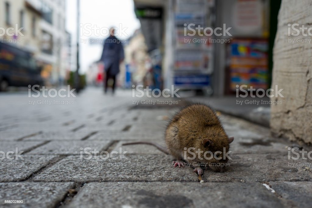 Sick rat on a Boardwalk stock photo