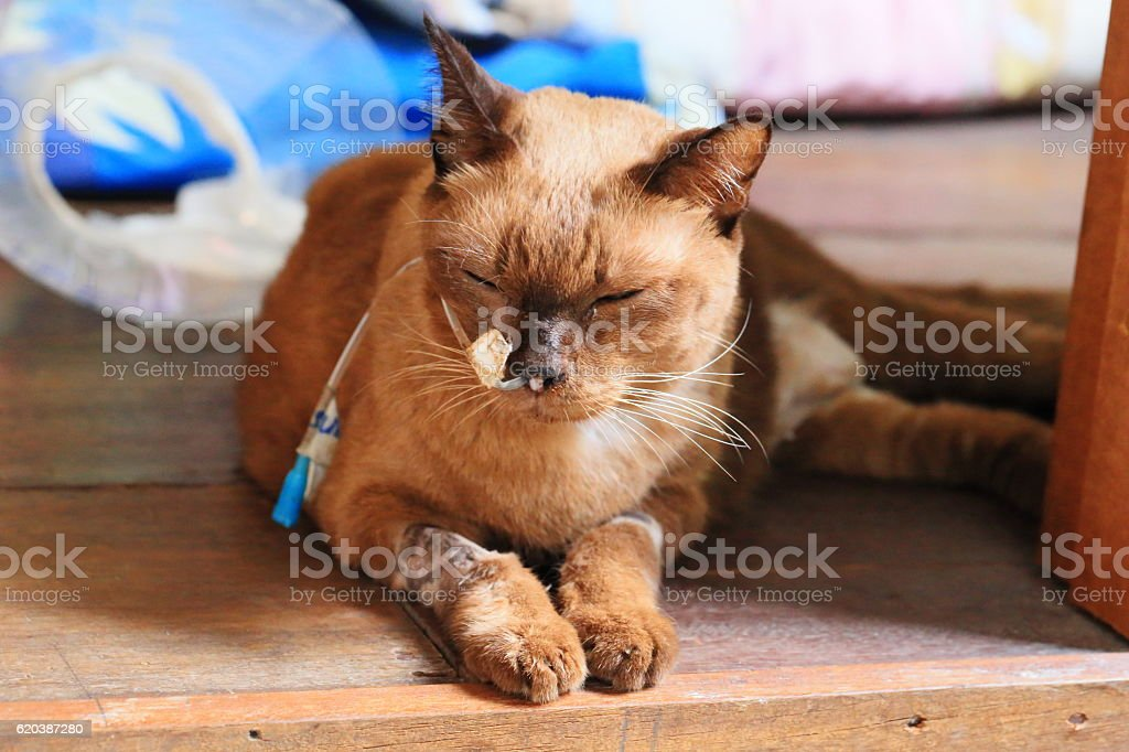 Sick Siamese Cat have tube stock photo
