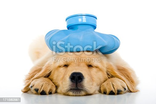 An Under the weather cute 8 week old Golden Retriever puppy with a blue ice bag on her head as she is lying on a white background sleeping