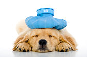 istock Sick young puppy with ice bag on head, white background 171580561