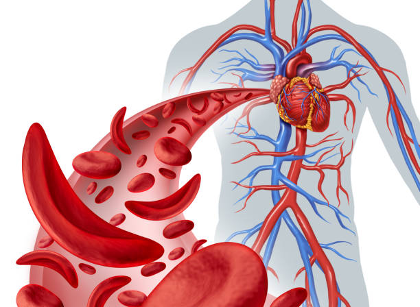 sickle cell heart circulation - cardiovascular system stock photos and pictures